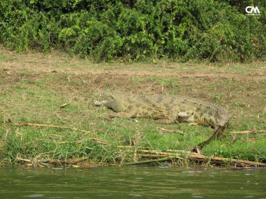 corocodil în safari lake elizabeth, uganda